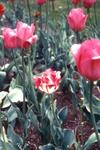 Tulipbreak