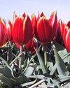 Tulipschrenkii