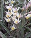 Tulipsogdiana